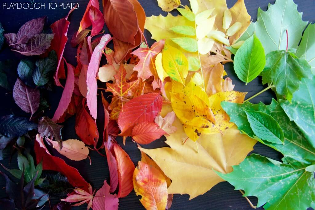 Gorgeous fall leaves for a chromatography science experiment. Such a fun fall activity for kids!